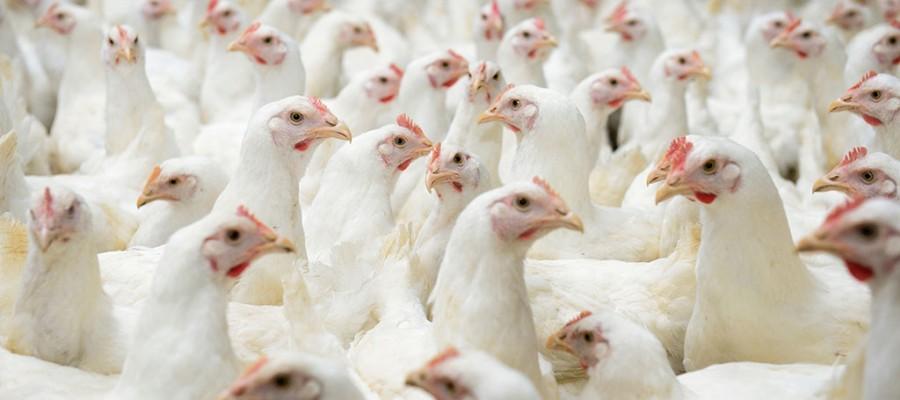 Siekiama mažinti antibiotikų vartojimą gyvulininkystėje